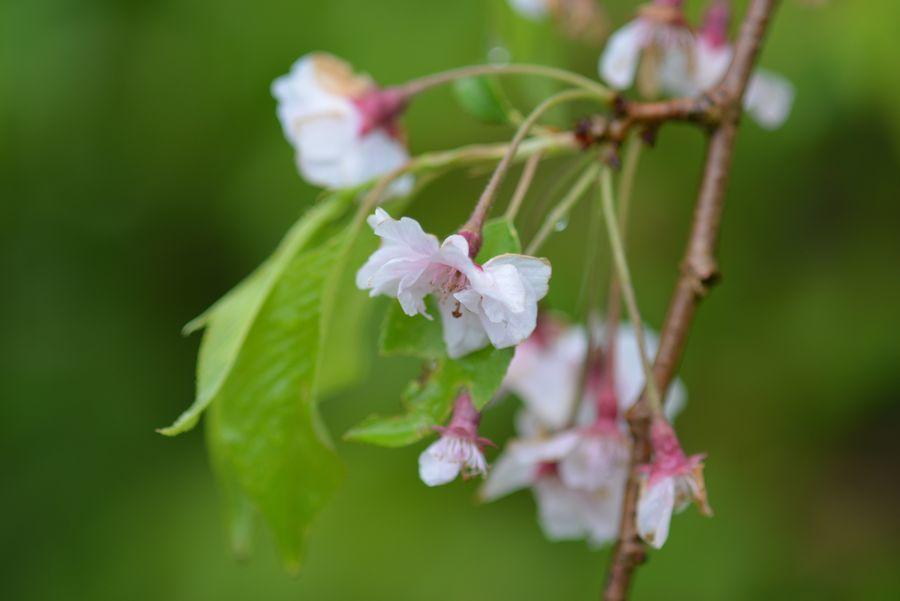 雨に咲く-9
