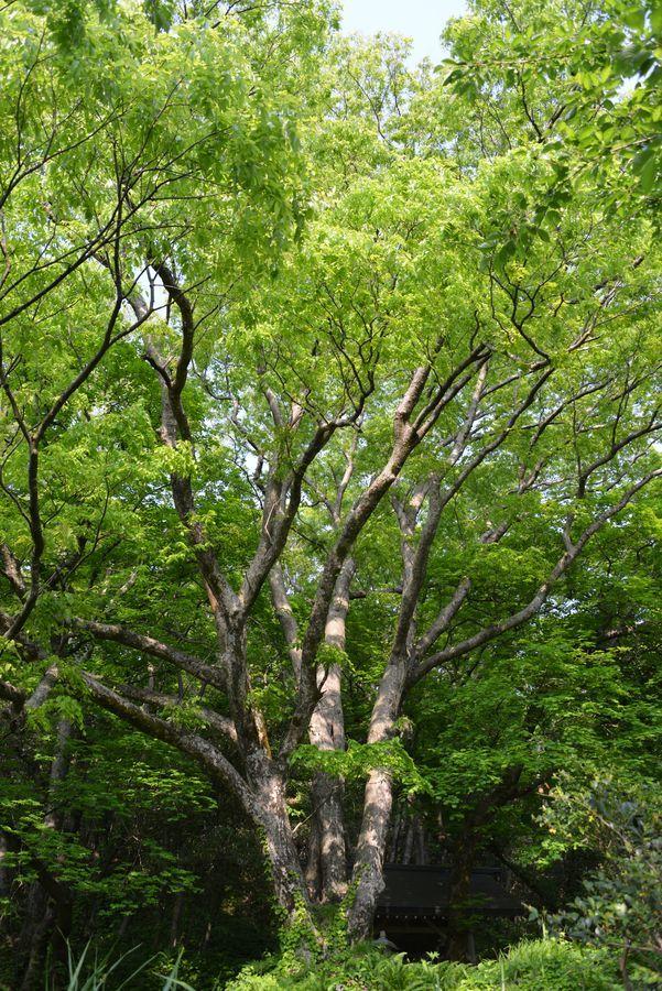 樹 新緑-2