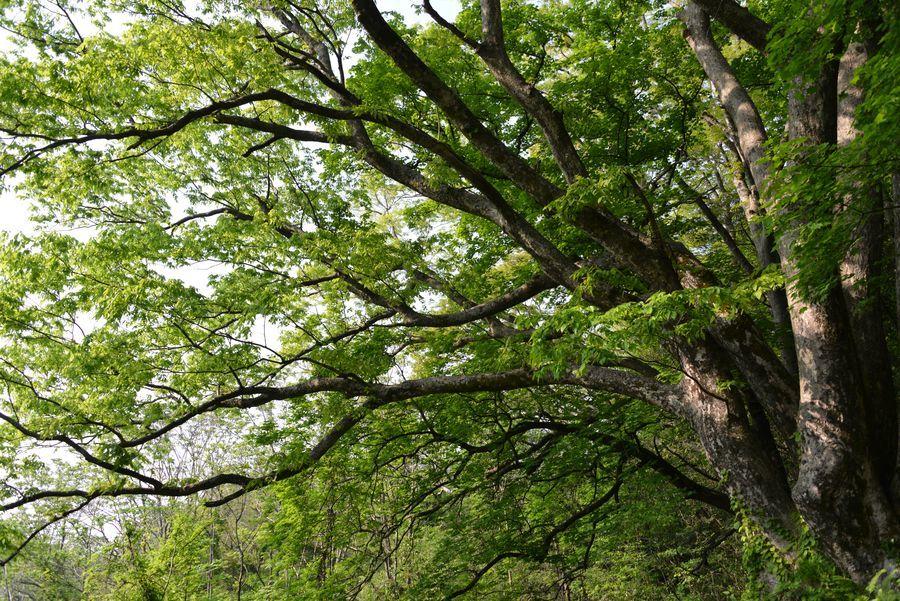 樹 新緑-3