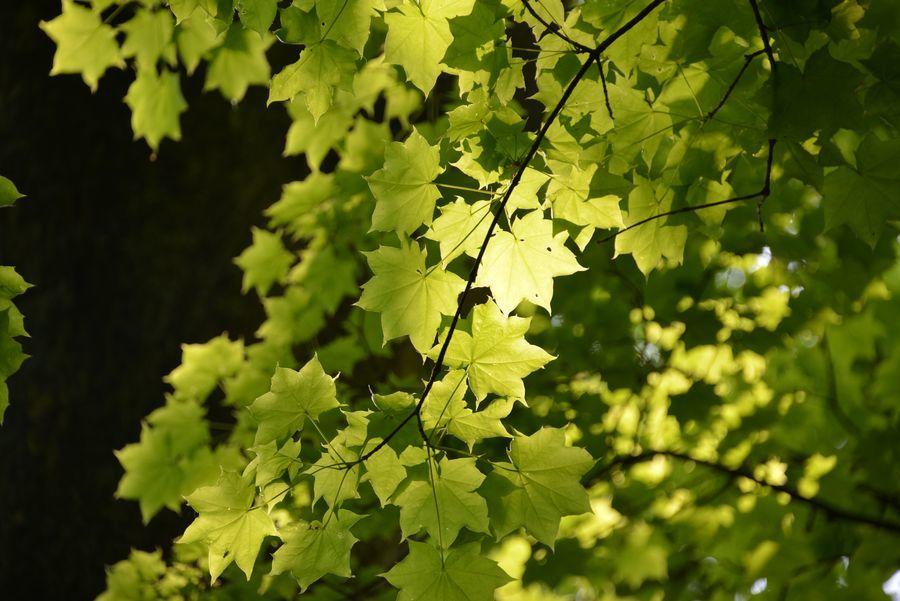 樹 新緑-5