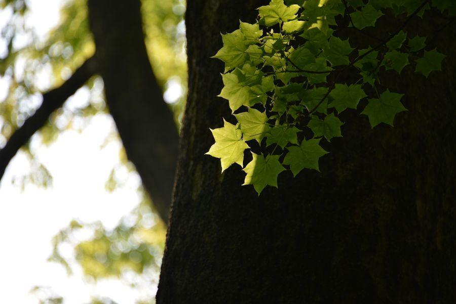 樹 新緑-6