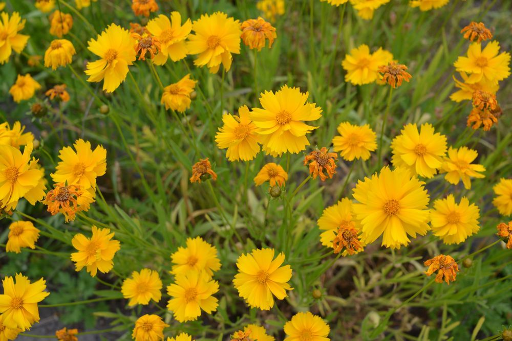 黄色い花-7