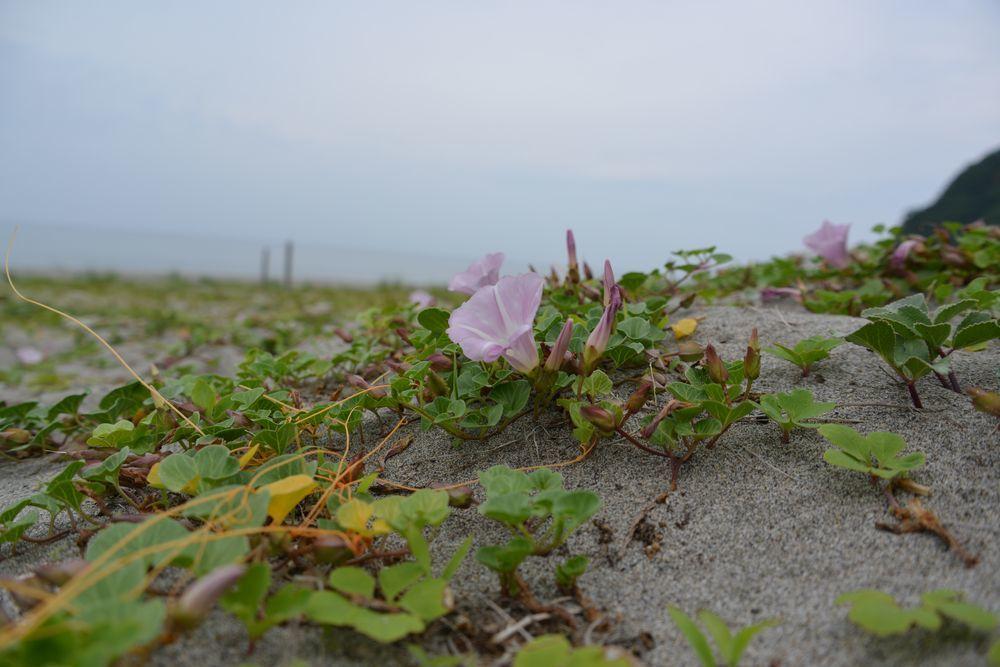 浜辺に咲くー3