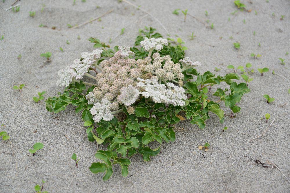 浜辺に咲くー4