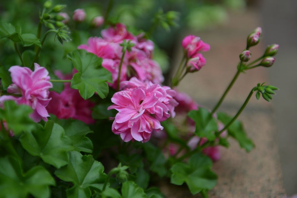 我が家の花と-6