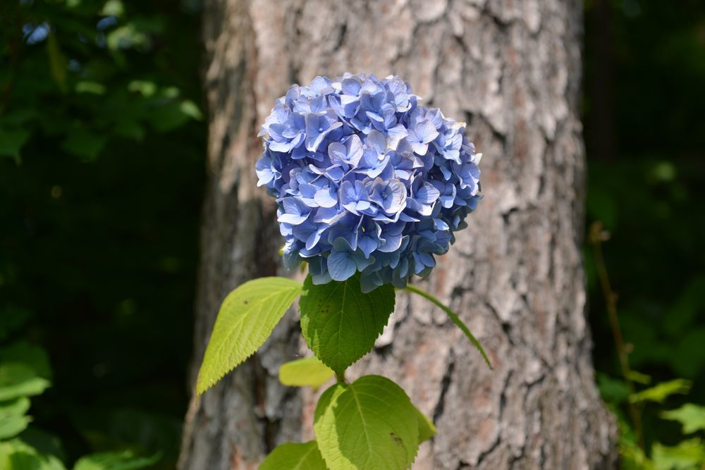 法福寺の紫陽花-4