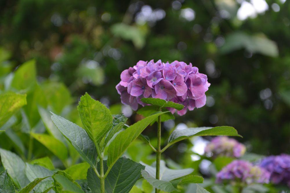 法福寺の紫陽花-5