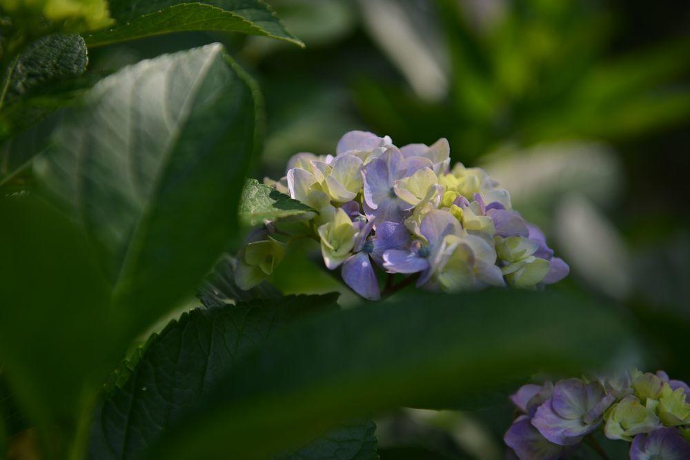法福寺の紫陽花-6