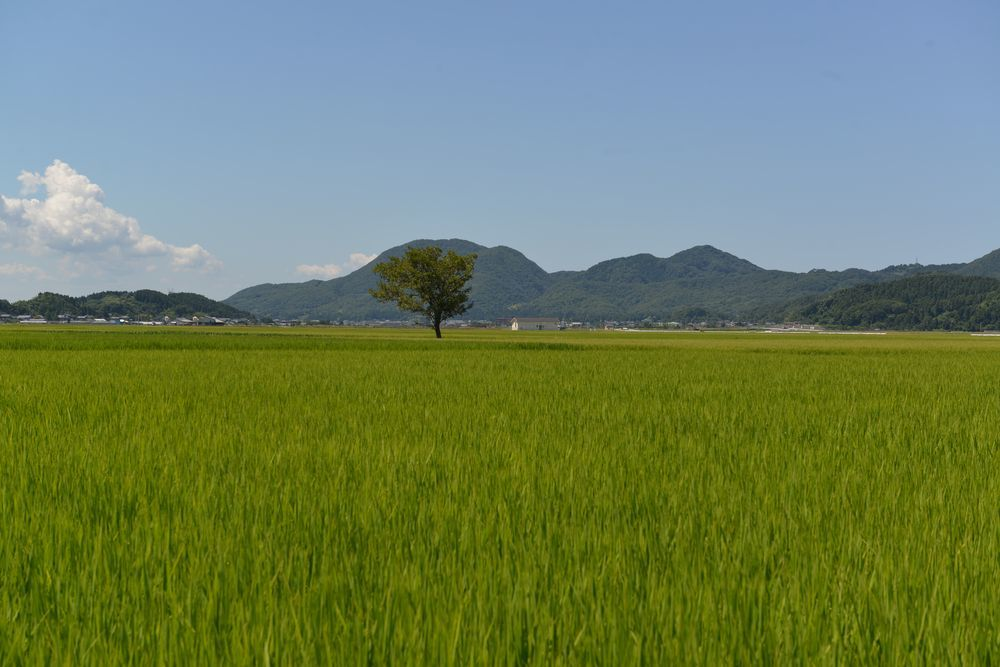真夏の田-2