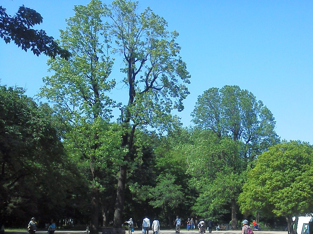 F1000029光が丘公園5月5日ユリノキ