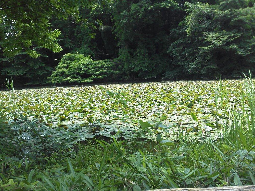 F1000060石神井公園5月18日スイレン花盛り