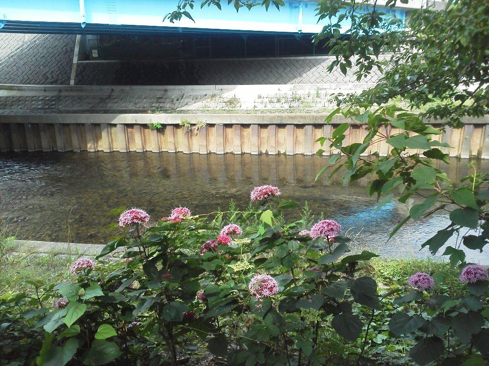 F1000077黒目川橋ボタンクサギ6月24日