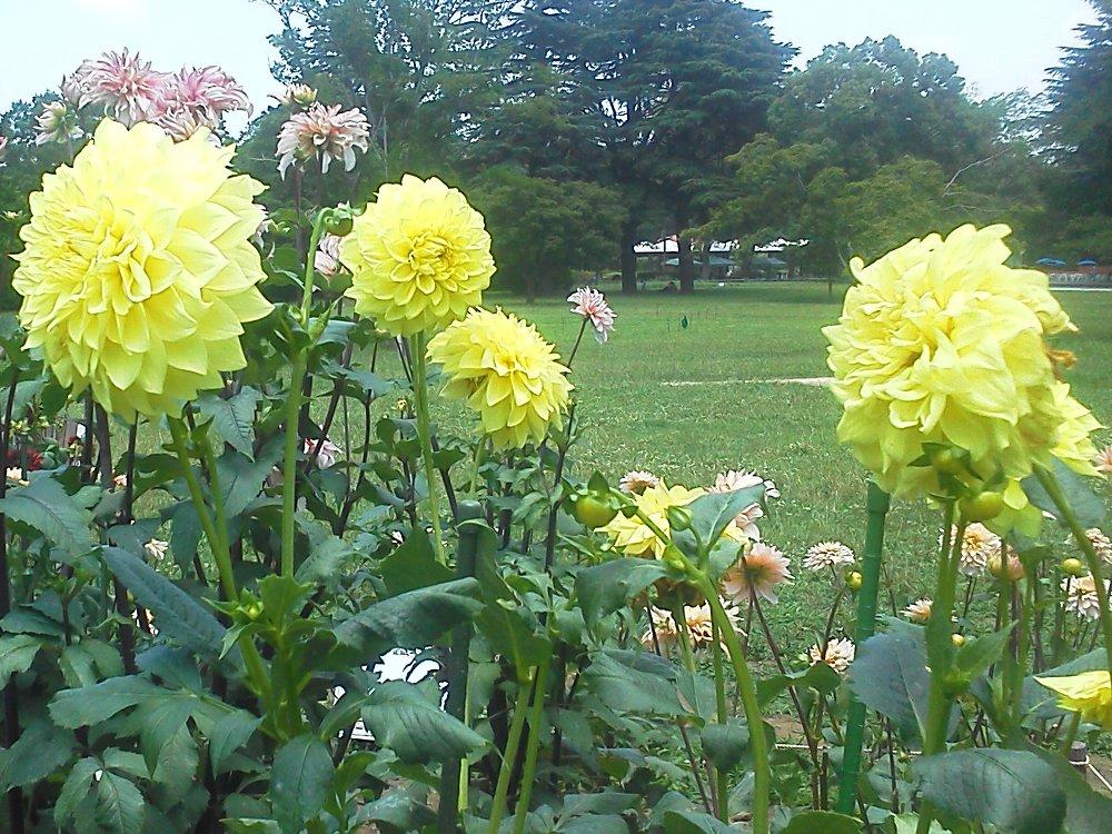 F1000150昭和記念公園7月15日ダリア