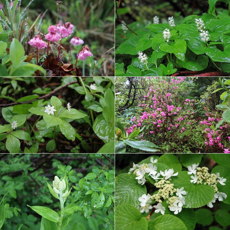 入梅の花々
