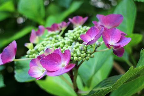 我が家の額紫陽花