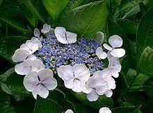 180606 紫陽花