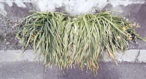 三つ編みの草3