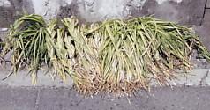 三つ編みの草5-1
