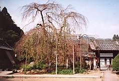 大野寺枝垂櫻