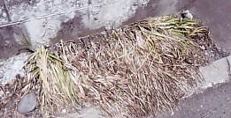 三つ編みの草枯れて