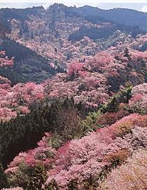 吉野山桜1