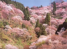吉野山櫻2