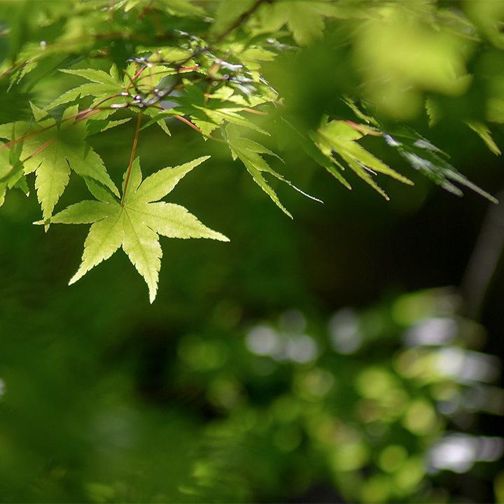 モミジの葉