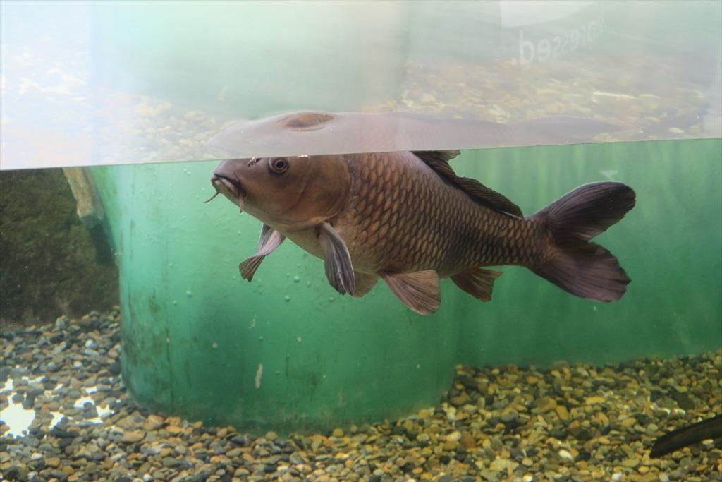 日本の淡水魚_6