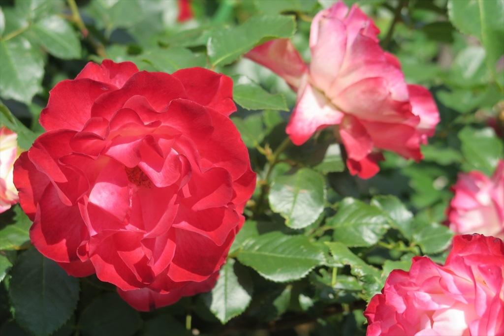 綺麗なバラを愛でる_1