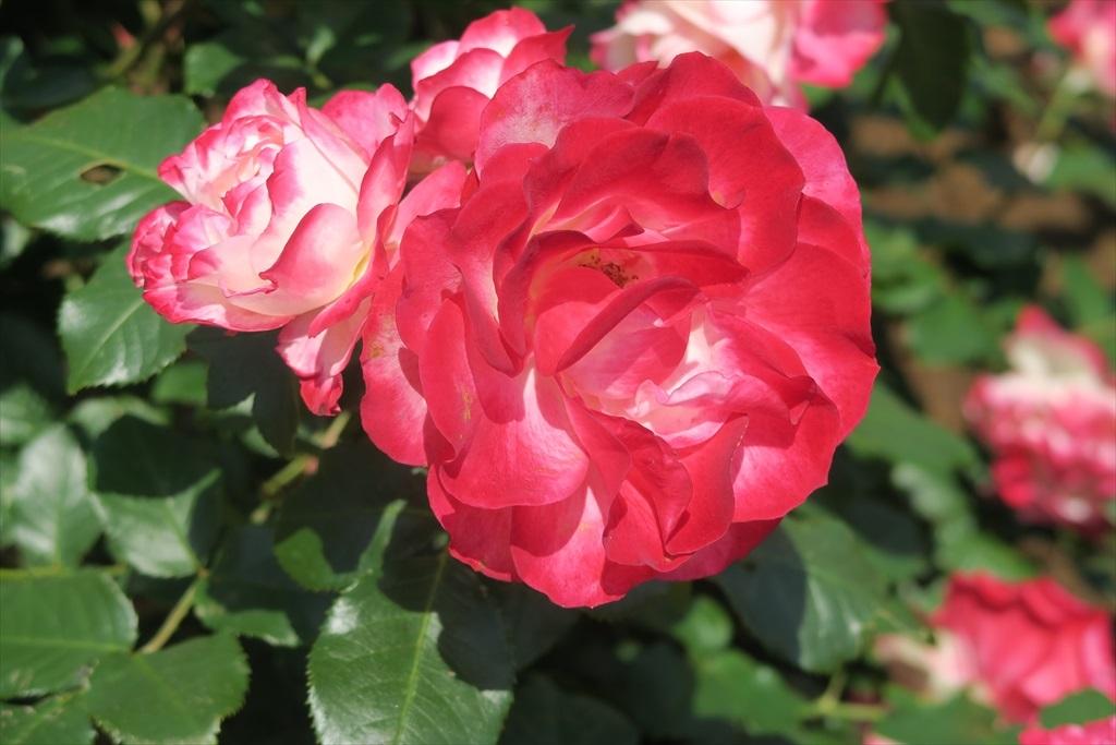 綺麗なバラを愛でる_2