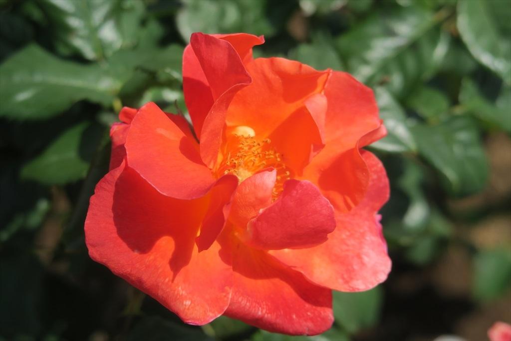 綺麗なバラを愛でる_3
