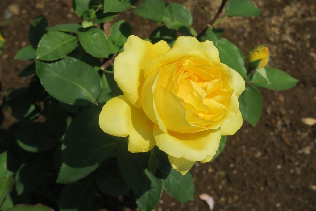 綺麗なバラを愛でる_5