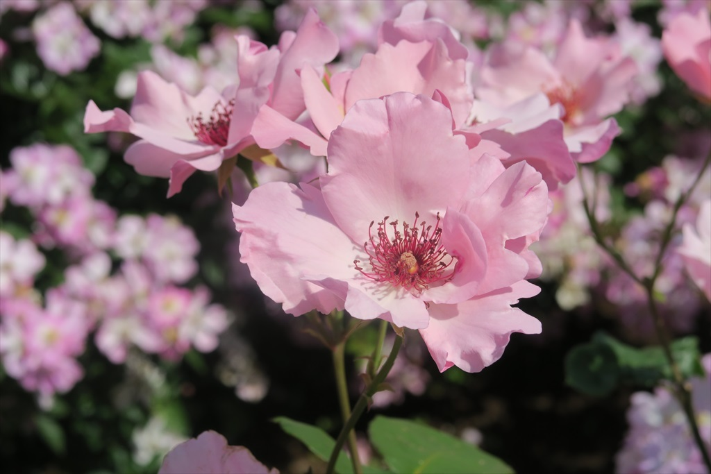 綺麗なバラを愛でる_6