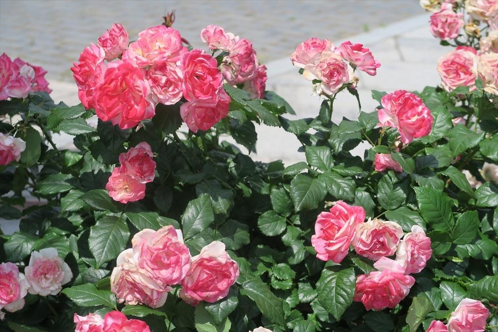 綺麗なバラを愛でる_7