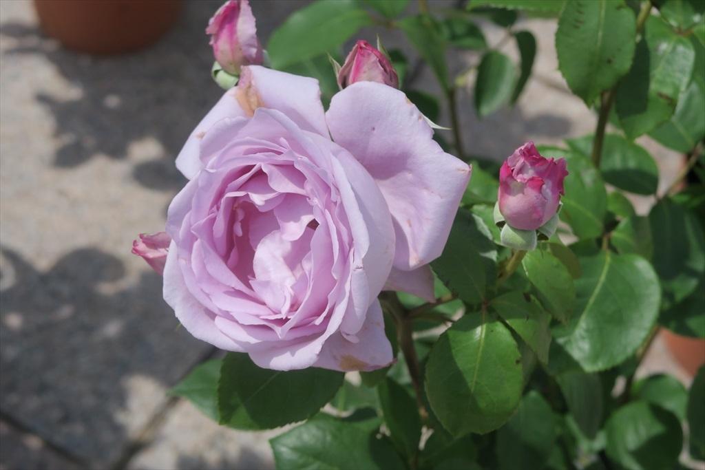 綺麗なバラを愛でる_8