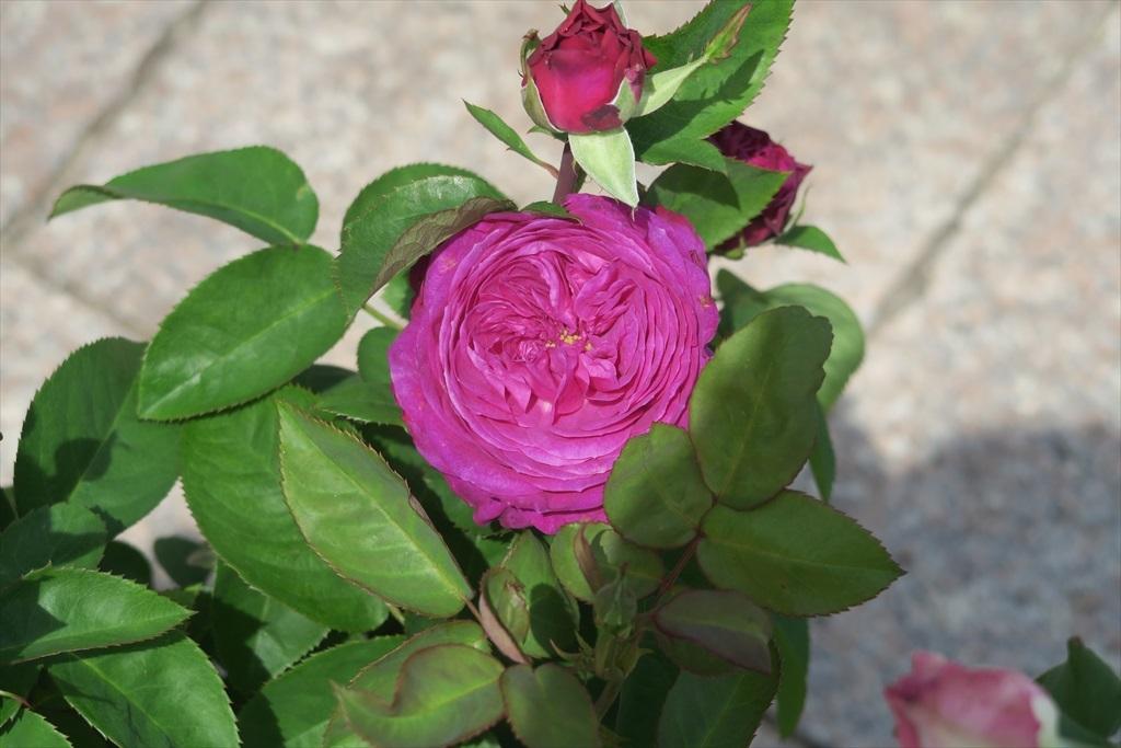綺麗なバラを愛でる_9