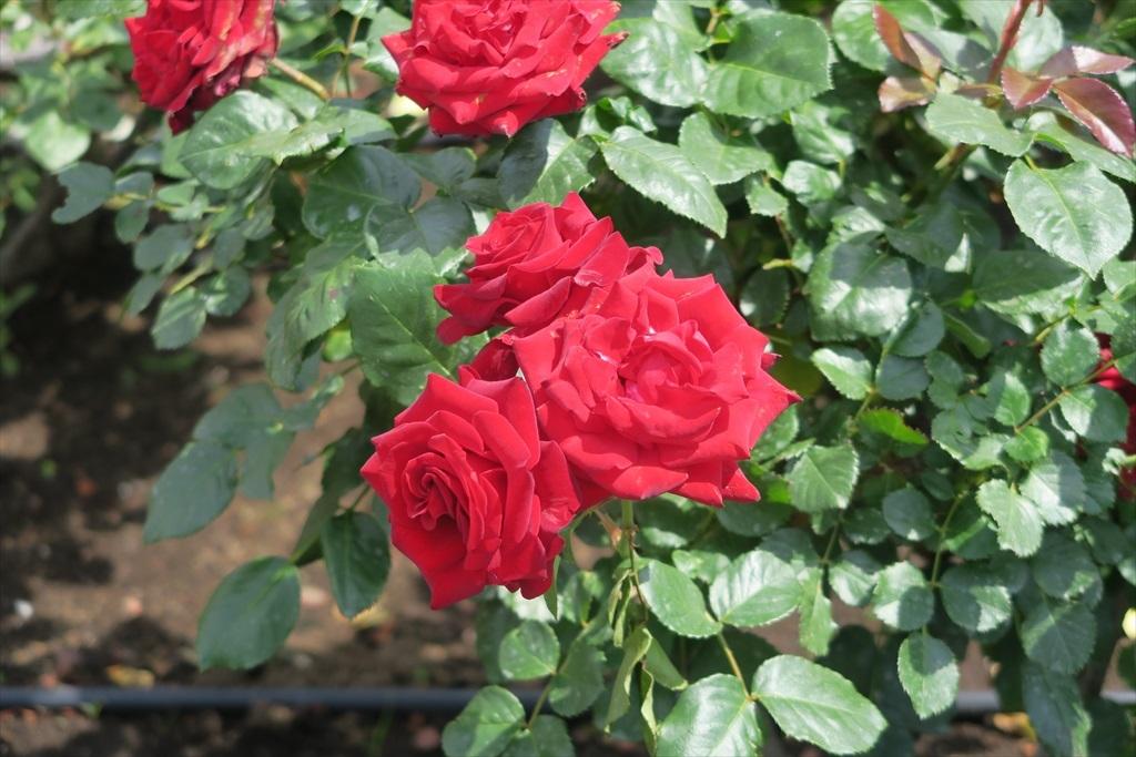 綺麗なバラを愛でる_10