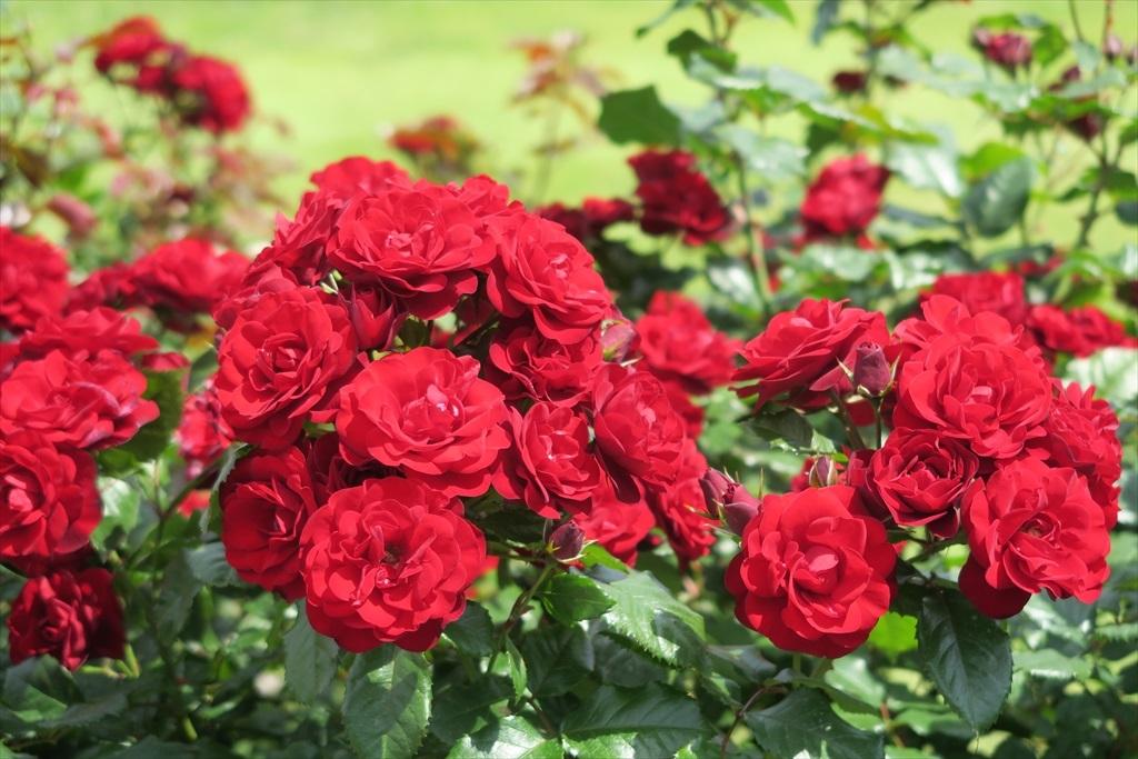 綺麗なバラを愛でる_11