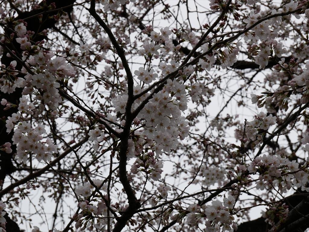 その日(03/18)のソメイヨシノ_1