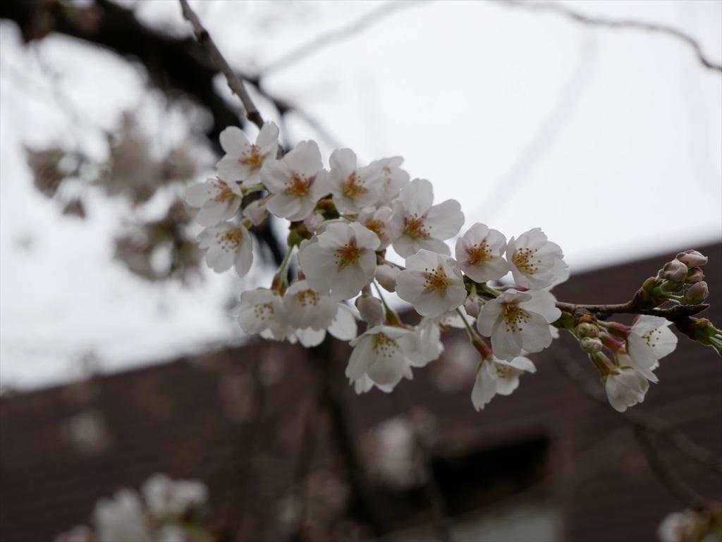 その日(03/18)のソメイヨシノ_2