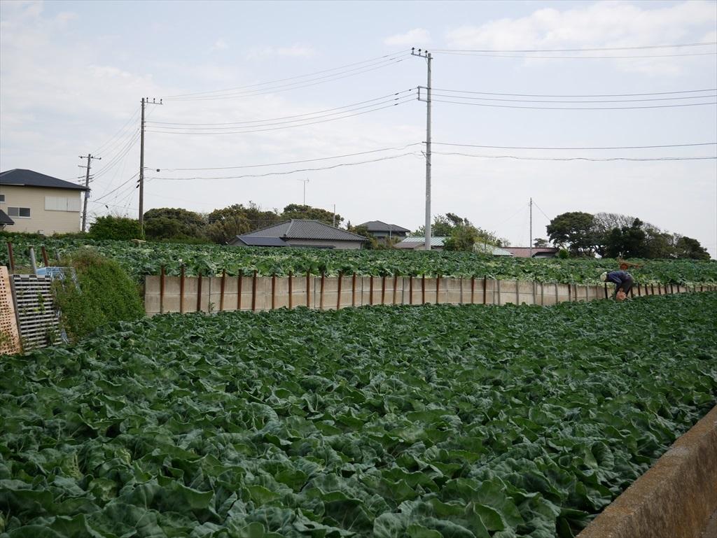 途中にはキャベツ畑が広がる_3