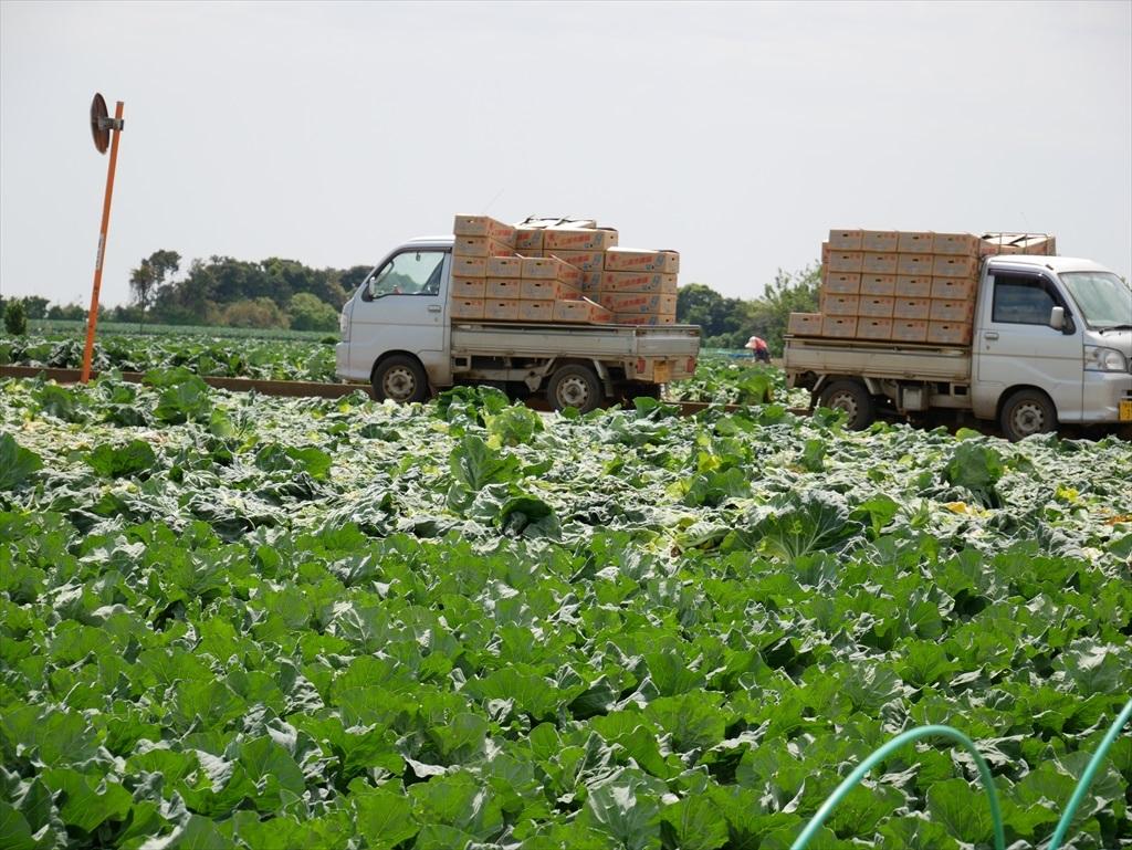 途中にはキャベツ畑が広がる_6