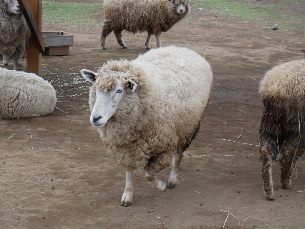 一番手前には羊_2