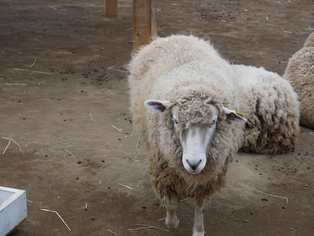 一番手前には羊_3