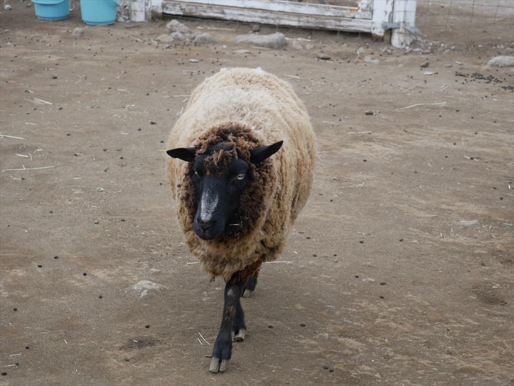 一番手前には羊_7