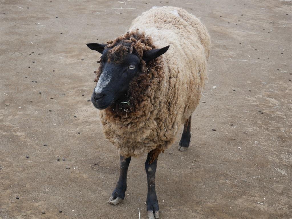一番手前には羊_8