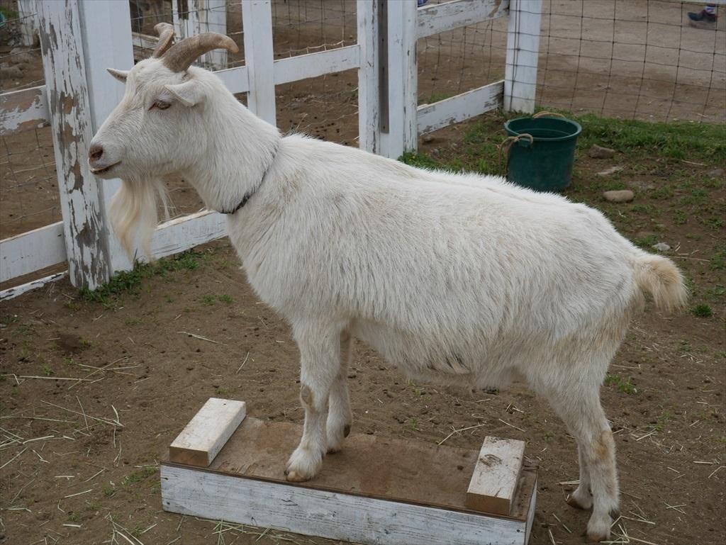 その隣には山羊_1