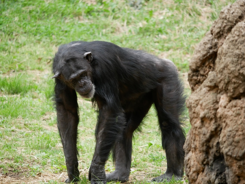 チンパンジー_4