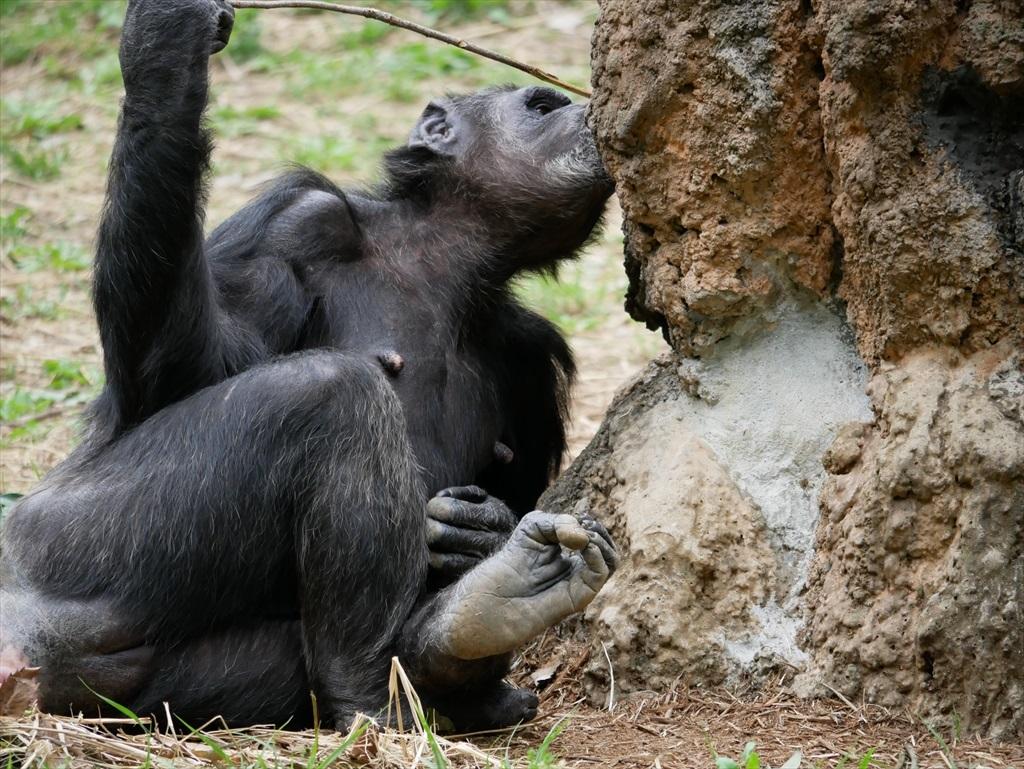 チンパンジー_10