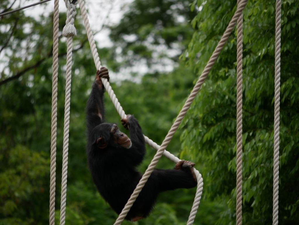 チンパンジー_11